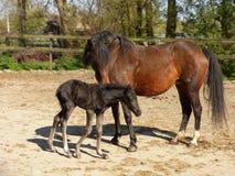 Νέο δασικό πόνι με foal Στοκ εικόνες με δικαίωμα ελεύθερης χρήσης