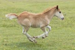 Νέο δασικό Foal πόνι τρέξιμο Στοκ Εικόνα