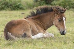 Νέο δασικό foal πόνι Στοκ εικόνες με δικαίωμα ελεύθερης χρήσης