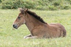 Νέο δασικό foal πόνι Στοκ Εικόνες