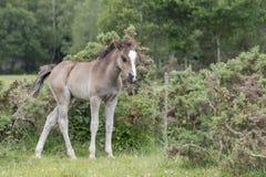 Νέο δασικό foal πόνι Στοκ φωτογραφίες με δικαίωμα ελεύθερης χρήσης