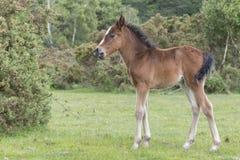 Νέο δασικό foal πόνι Στοκ Φωτογραφίες