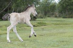 Νέο δασικό foal πόνι Στοκ Εικόνα