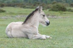 Νέο δασικό foal πόνι Στοκ εικόνα με δικαίωμα ελεύθερης χρήσης