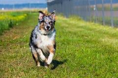 Νέο αυστραλιανό τρέξιμο σκυλιών ποιμένων Στοκ φωτογραφία με δικαίωμα ελεύθερης χρήσης