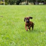 Νέο βαυαρικό κυνηγόσκυλο μυρωδιάς Στοκ φωτογραφία με δικαίωμα ελεύθερης χρήσης