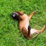 Νέο βαυαρικό κυνηγόσκυλο μυρωδιάς Στοκ Εικόνα