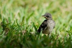 Νέο βόρειο Mockingbird στοκ φωτογραφία με δικαίωμα ελεύθερης χρήσης