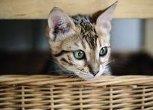 Νέο γατάκι της Βεγγάλης στο καλάθι της στοκ φωτογραφία