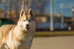 Νέο γεροδεμένο κόκκινο χρώμα σκυλιών κουταβιών Στοκ Φωτογραφία