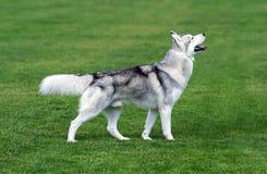 Νέο γεροδεμένο σκυλί που μένει στον πράσινο τομέα Στοκ Φωτογραφίες