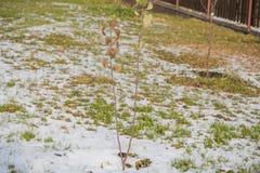 Νέο δέντρο στο χιόνι Ένα δέντρο κάτω από το χιόνι Στοκ φωτογραφία με δικαίωμα ελεύθερης χρήσης