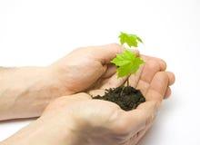νέο δέντρο σφενδάμνου ατόμ&omega στοκ φωτογραφίες με δικαίωμα ελεύθερης χρήσης