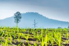 Νέο δέντρο του καλάμου ζάχαρης στοκ φωτογραφία με δικαίωμα ελεύθερης χρήσης