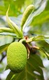 Νέο επιστημονικό όνομα αρτόκαρπων: Artocarpus altilis Στοκ Φωτογραφίες