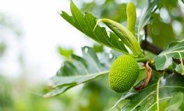 Νέο επιστημονικό όνομα αρτόκαρπων: Artocarpus altilis Στοκ φωτογραφία με δικαίωμα ελεύθερης χρήσης