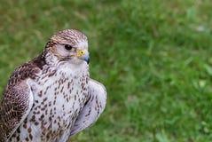 Νέο ετερόκλητο λευκό γερακιών με τα καφετιά φτερά στοκ φωτογραφία