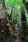 Νέο θηλυκό περπάτημα οδοιπόρων που περιβάλλεται ανηφορικά από τα αρχαία δέντρα κέδρων στο πάρκο Yakusugiland Στοκ Φωτογραφίες