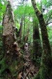 Νέο θηλυκό περπάτημα οδοιπόρων που περιβάλλεται ανηφορικά από τα αρχαία δέντρα κέδρων στο πάρκο Yakusugiland Στοκ φωτογραφία με δικαίωμα ελεύθερης χρήσης
