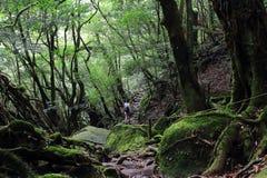 Νέο θηλυκό περπάτημα οδοιπόρων που περιβάλλεται από τα αρχαία δέντρα κέδρων σε Shiratani Unsuikyo Ravinepark Στοκ Εικόνες