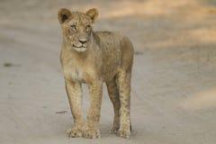 Νέο λιοντάρι που στέκεται στη διαδρομή στοκ φωτογραφία με δικαίωμα ελεύθερης χρήσης