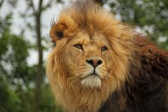 Νέο λιοντάρι Στοκ Εικόνες