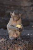 Νέο καβούρι που τρώει Macaque Στοκ φωτογραφίες με δικαίωμα ελεύθερης χρήσης
