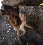 Νέο καβούρι που τρώει Macaque Στοκ Εικόνες