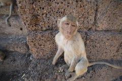 Νέο καβούρι που τρώει Macaque Στοκ φωτογραφία με δικαίωμα ελεύθερης χρήσης