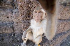 Νέο καβούρι που τρώει Macaque Στοκ εικόνα με δικαίωμα ελεύθερης χρήσης