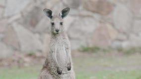 Νέο καγκουρό στη Ανατολική Ακτή της Αυστραλίας Κλείστε επάνω του κεφαλιού και του προσώπου Καταγραμμένος στις άγρια περιοχές απόθεμα βίντεο
