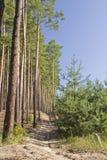Νέο και παλαιό πεύκο δίπλα-δίπλα στο ξύλο στο θερινό πρωί Στοκ φωτογραφίες με δικαίωμα ελεύθερης χρήσης
