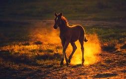 νέο καφετί foal που τρέχει στον τομέα, που αυξάνει τη σκόνη Στοκ Εικόνα