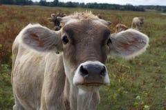 Νέο κεφάλι γαλακτοκομικών αγελάδων Αγρόκτημα, γεωργία στο χωριό Στοκ Εικόνα