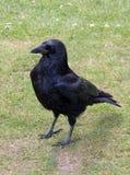 Νέο κοράκι Corvus Frugilegus στη χλόη Στοκ Φωτογραφία