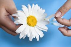 Νέο κορίτσι με λυσσασμένα πέταλα τα άσπρα μαργαριτών μακριά Στοκ Φωτογραφίες