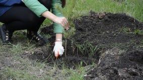 Νέο κορίτσι που φυτεύει ένα δέντρο πεύκων στο έδαφος απόθεμα βίντεο