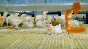 Νέο κοτόπουλο στο κλουβί πουλερικών Αγροτικό εσωτερικό κοτόπουλου απόθεμα βίντεο