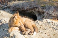 Νέο κόκκινο κουτάβι αλεπούδων που στηρίζεται έξω από το κρησφύγετο στοκ φωτογραφίες