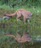Νέο λιοντάρι Cougar ή βουνών στοκ φωτογραφία με δικαίωμα ελεύθερης χρήσης