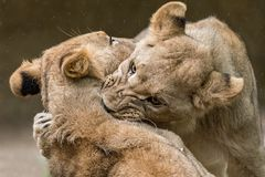 Νέο λιονταριών Στοκ Εικόνες