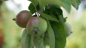 Νέο μήλο στο δέντρο ώριμος περίπατος δέντρων κήπων καρπού ημέρας φθινοπώρου μήλων όμορφο διάνυσμα δέντρων απεικόνισης μήλων Juicy απόθεμα βίντεο
