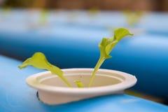 Νέο μαρούλι hydroponics στο αγρόκτημα στην Ταϊλάνδη στοκ εικόνες