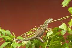Νέο μαύρο ακανθωτός-παρακολουθημένο Iguana Στοκ Φωτογραφία