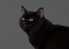 Νέο μαύρο βρετανικό γατάκι Στοκ Φωτογραφίες