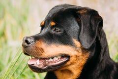 Νέο μαύρο παιχνίδι σκυλιών κουταβιών Rottweiler Metzgerhund στην πράσινη χλόη στοκ εικόνα