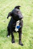 Νέο μαύρο Retriever του Λαμπραντόρ κεφάλι κοκκόρων σκυλιών μιγμάτων λοξά στοκ εικόνα με δικαίωμα ελεύθερης χρήσης