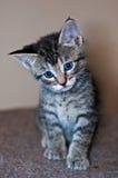 Νέο με κοντά μαλλιά γκρίζο τιγρέ γατάκι Στοκ Φωτογραφίες