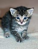 Νέο με κοντά μαλλιά γκρίζο τιγρέ γατάκι Στοκ Φωτογραφία