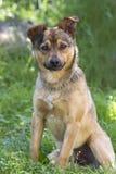 Νέο μιγία σκυλί πορτρέτου Στοκ φωτογραφία με δικαίωμα ελεύθερης χρήσης